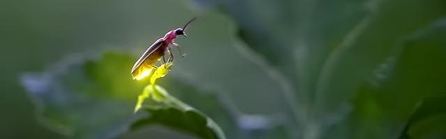 ateş böceğinin diğer adı nedir ile ilgili görsel sonucu